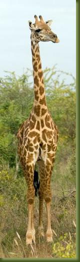 Kenia Masai Mara - Giraffe